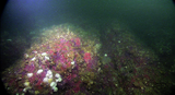 Sponge community at Folger Passage