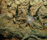 This anemone, likely of the Athenaria species