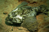 This sculpin was observed lurking on the seabed near the