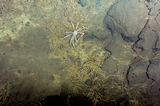 Spider crab on seafloor
