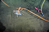Crabs feasting on fish caught in ROPOS thrusters