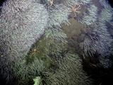 Spider crabs and tubeworms