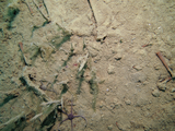 Brittle star and sediment in Cambridge Bay