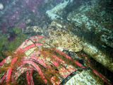 Sculpin next to the Folger Deep instrument platform