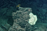 Large sponge and brittle star