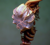 Brittle Star on Sea Pen