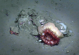 Benthic Community in Barkley Canyon