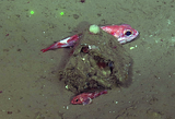 Thornyhead Fish Hide Next to Benthic Island