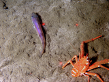 Small juvenile pollock rests next to a squat lobster