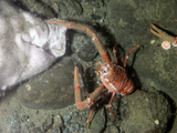 Crab wandering the sea floor
