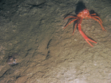 Squat lobster next to a buried sole