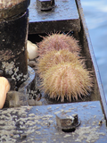 Urchins attached to the node