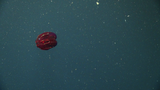 Red comb jelly